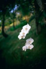 Orchids, Bali, Sayan