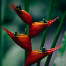 Birds of paradise, Bali